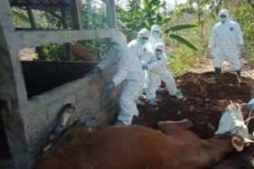 Ilustrasi petugas kesehatan hewan mengubur bangkai sapi demi mengantisipasi penyebaran penyakit antraks. (Antara-Sutarmi)