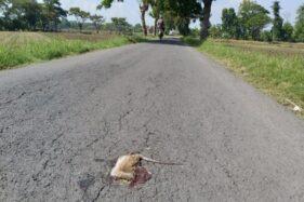 Bangkai tikus berserakan di jalanan wilayah Gadingan, Kelurahan Jombor, Bendosari, Sukoharjo, Rabu (22/1/2020). (Solopos/Indah Septiyaning W.)
