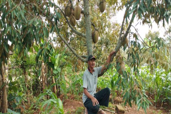 Ratusan Orang Inden Durian Pogog Wonogiri, Petani Batasi Kuota Pemesanan