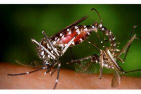 Ilustrasi nyamuk demam berdarah. (Reuters)