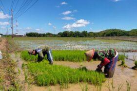 Petani menyemai bibit tanaman padi di sawah di Selogiri, Wonogiri, Jumat (17/1/2020). (Solopos/Rudi Hartono)