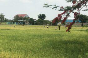 Petani memanen padi di Tasikmadu, Karanganyar, beberapa waktu lalu. (Solopos-Candra Mantovani)