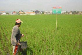 Ilustrasi petani memberi pupuk tanaman padinya. (Antara)