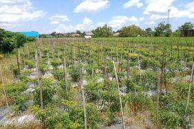 Petani Karanganyar Ngeluh Tanaman Cabai Busuk Diserang Lalat Buah