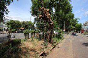 Timpa Innova, Pohon Asam Keranji di City Walk Depan Jasindo Solo Dipangkas