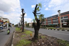 Deretan pohon yang sudah dipangkas tapi belum dipindah di jalur hijau Jl. Slamet Riyadi, Kerten, Laweyan, Solo, Minggu (16/2/2020). (Solopos/Nicolous Irawan)