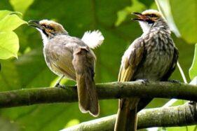 Apes Lur, Pria Jogja Ditusuk dan Dianiaya Gara-gara Burung Pentet