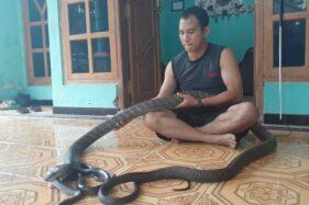 Fantastis! King Cobra Sinyo di Madiun Ditawar Jutaan Rupiah, Tapi…
