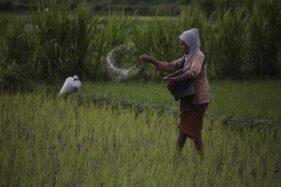 Ilustrasi petani menebar pupuk. (Antara-Hendra Nurdiyansyah)