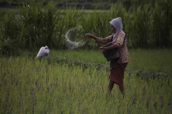 Distribusi Pupuk Asli Diduga Terlambat, Sebagian Petani Klaten Kebagian Pupuk Palsu