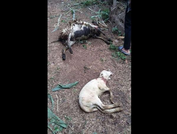 Kondisi kambing yang mati mengenaskan di Ngambarsari, Karangtengah, Wonogiri, akhir pekan lalu. (Istimewa/Polsek Karangtengah)