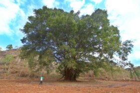 Makam Mbah Manten di Bawah Pohon Besar di Wonogiri Jadi Simbol Kesetiaan