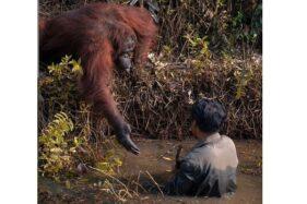 Orangutan mengulurkan tangan kepada pengawas hutan di Borneo Orangutan Survival Foundation (BOS) di Balikpapan, Kaltim. (Instagram-@anil_t_prabhakar)