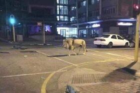 Singa dilepas untuk isolasi corona di Rusia ternyata hoax. (Istimewa)