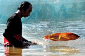 Ilustrasi ikan arwana termahal (shelook.com)