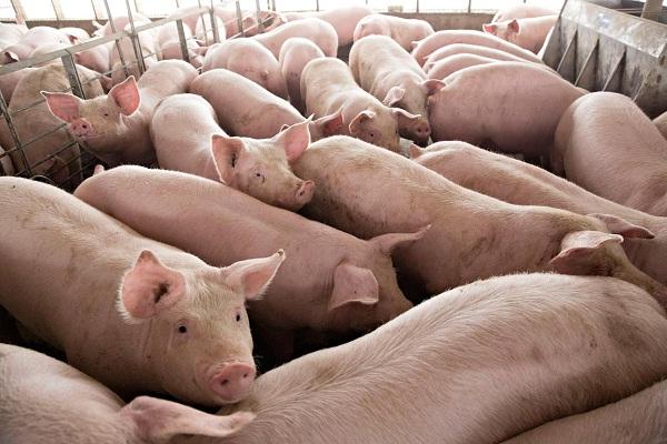 Pembuang Bangkai Babi di Sungai Jatinom Klaten Divonis 1 Bulan Bui atau Denda Rp3 Juta