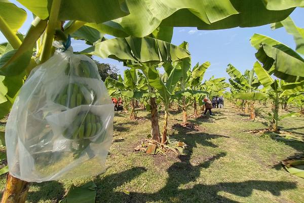 Tanaman pisang di kebun pisang Desa Kunti, Kecamatan Andong, Boyolali, berbuah, Minggu (28/6/2020). Kebun itu disiapkan jadi embrio pengembangan tanaman pisang cavendish di Jawa Tengah. (Solopos/Bayu Jatmiko Adi)