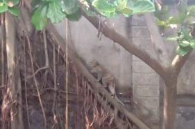 Monyet memanjat akar pohon di area pagar Taman Balekambang, Kecamatan Banjarsari, Solo, Selasa (9/6/2020. (Solopos/Wahyu Prakoso)