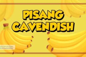 Infografis Pisang Cavendish (Solopos/Whisnupaksa)