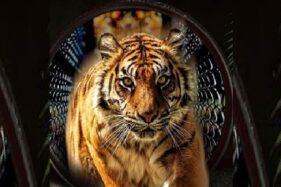 Harimau di Batu Secret Zoo Jatim Park 2. (Istimewa)