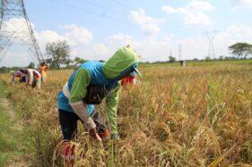 Buruh tani memanen padi di sawah wilayah Desa Trasan, Kecamatan Juwiring, Klaten, Senin (29/6/2020). (Solopos-Taufiq Sidik Prakoso)