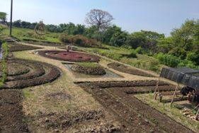 Nekat! Petani di Polanharjo Klaten Tanam Sayuran di Lahan Motif Batik Terdampak Tol Solo-Jogja