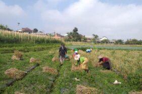 Petani terlihat sibuk mengurusi tanaman bawang putih di Segoro Gunung, Ngargoyoso, Karanganyar beberapa waktu lalu. (Istimewa/ Sunarso)