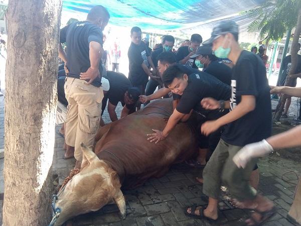 Sungguh Berat! Pemotongan Sapi Kurban Presiden Jokowi di Solo Butuh 18 Orang