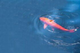 Bisa Tangkal Stres, Ini Daftar Manfaat Pelihara Ikan Hias