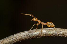 Ilustrasi semut rangrang. (Freepik)
