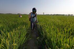 Kesulitan Biaya Operasional Bayang-Bayangi Petani Sukoharjo