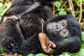 Taman Nasional Bwindi Uganda Kebanjiran Bayi Gorila Gunung