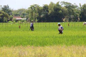 Petani di Desa Kapungan, Kecamatan Polanharjo, Kabupaten Klaten menebarkan pupuk di sawah yang dia garap, Kamis (24/9/2020). (Solopos/Taufiq Sidik Prakoso)