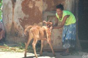 Anak sapi berkaki lima di Sumenep (detik.com)