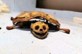 Kasihan! Ditinggal 8 Bulan di Asrama Gara-Gara Pandemi, Kura-Kura Ini Tinggal Tulang