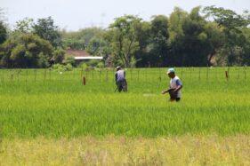 Petani di Desa Kapungan, Kecamatan Polanharjo menebarkan pupuk di sawah, Kamis (24/9/2020). (Solopos-Taufiq Sidik Prakoso)