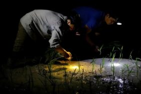 Petani di Hanoi, Vietnam yang menanam padi pada malam hari. (New York Post)