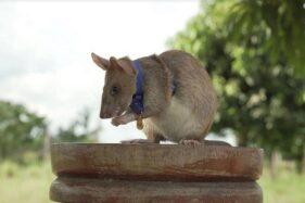 Magawa, tikus yang mendapatkan medali emas dari PDSA. (New York Times)