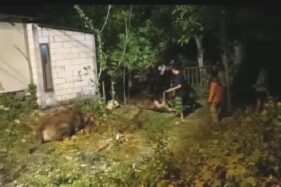 Kecelakaan Karambol, Truk Sapi Terguling di Wonoasri Madiun