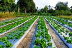 Lahan pertanian Petani Milenial di Bangka Tengah. (Istimewa)