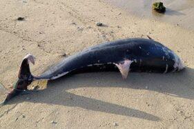 Kondisi bangkai lumba-lumba yang terdampar di Pantai Sundak, Kalurahan Tepus, Kapanewon Tepus, Gunungkidul, Kamis (29/10/2020). (Istimewa)
