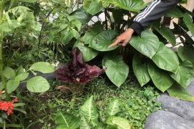 Geger! Bunga Berbau Bangkai Tumbuh di SD Panularan Solo, Tanaman Apa?