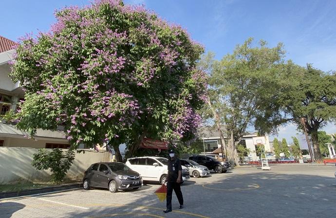Mekar Bunga Bungur-Sakura Bikin Balai Kota Solo Serasa Musim Semi Di Jepang