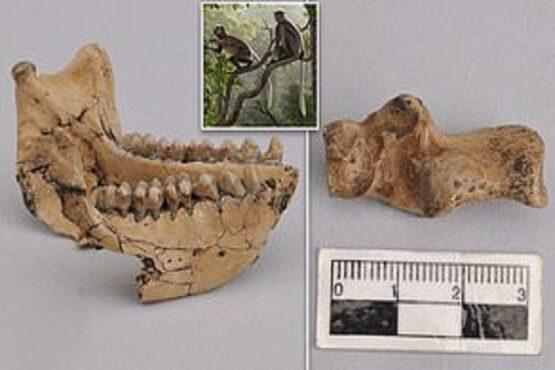 Fosil monyet berusia 6,4 juta tahun yang ditemukan di Yunan, China. (Daily Mail)