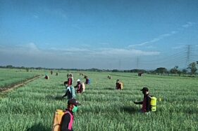 Amankan Produksi Bawang Merah Melalui Gerdal OPT