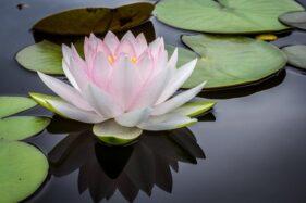 Ilustrasi bunga teratai. (unspalsh.com)