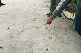 Warag menunjukkan jejak satwa diduga macan tutul di jalur evakuasi pengungsi merapi di Cangkringan, Sleman, DIY, Senin (23/11/2020). (harian Jogja/Hafit Yudi Suprobo)