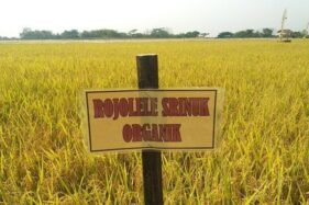 Hamparan tanaman padi Rojolele Srinuk di Desa Gempol, Kecamatan Karanganom, Kabupaten Klaten. (Solopos.com/Humas Setda Klaten)