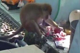 Monyet Ekor Panjang Bantu Emak Cuci Pakaian Bikin Gemas Netizen
