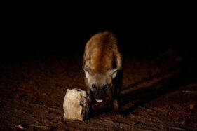 Ngeri! Pria Tua Tewas Diserang Hyena Saat Tidur, Separuh Tubuh Hilang